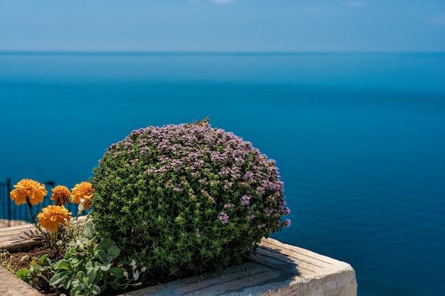 Lila blüten von thymus vulgaris büschen, bekannt als gewöhnlicher thymian, vor dem meer