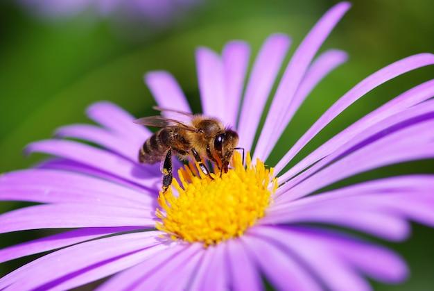 nahaufnahmeaufnahme einer biene auf blühender lila blume