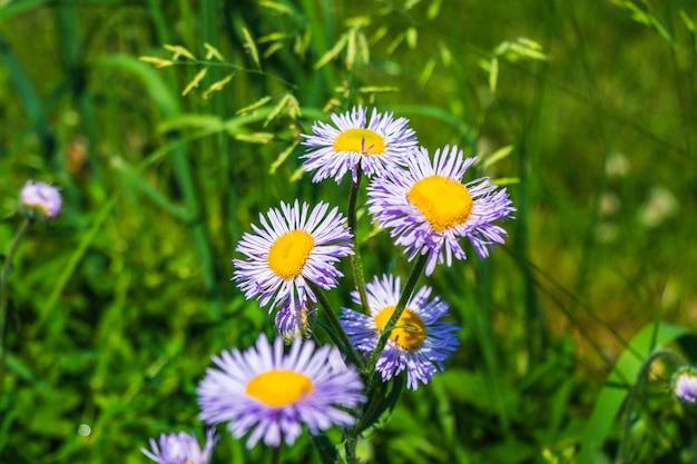 Lila blumen, die im sonnigen sommer im garten blühen