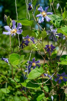 Lila blumen und grüne blätter. schöner natürlicher hintergrund.