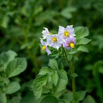 Lila blumen von kartoffeln wachsen in einem gemüsegarten