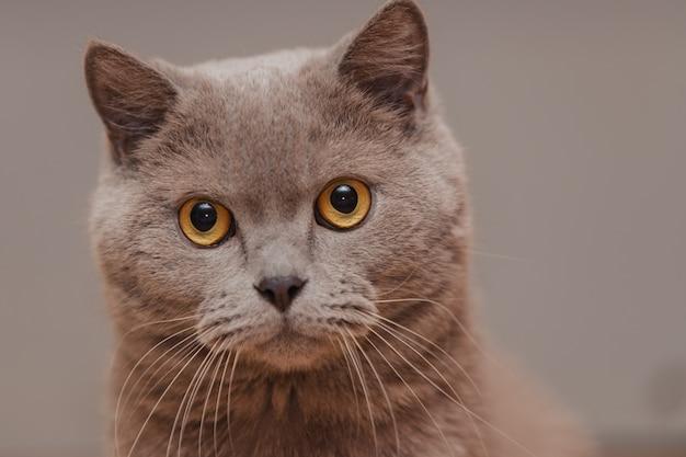 Lila britische katze. portrait eines tieres.