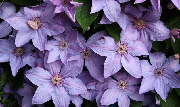 Lila clematis, natürliche blume