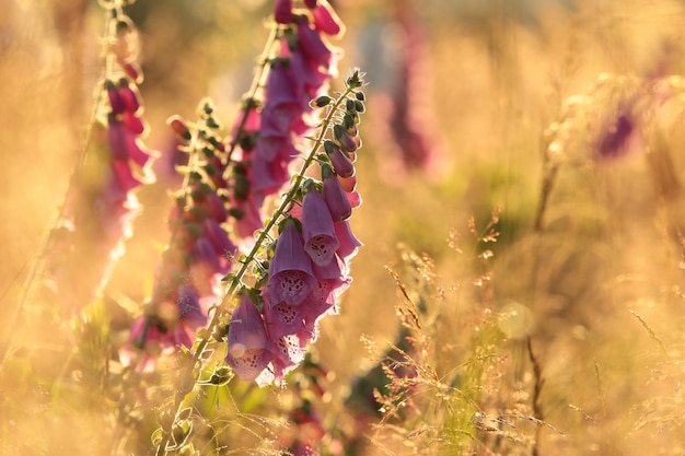 Lila fingerhut - digitalis purpurea bei sonnenaufgang