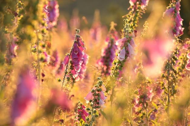 Lila fingerhut digitalis purpurea während des sonnenaufgangs