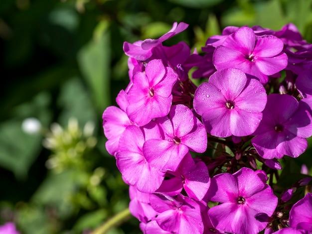 Lila flammenblumen von phlox. blühender gartenphlox, staude oder sommerphlox im garten an einem sonnigen tag. platz kopieren
