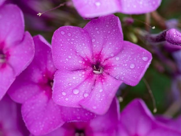 Lila flammenblumen von phlox, wassertropfen auf einer blume. blühender gartenphlox, staude oder sommerphlox im garten an einem sonnigen tag.nahaufnahme