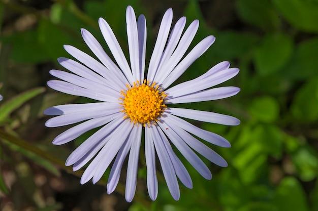 Lila gänseblümchenblume