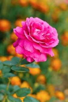 Lila großblumige teerosenblüten blühen im sommer im garten