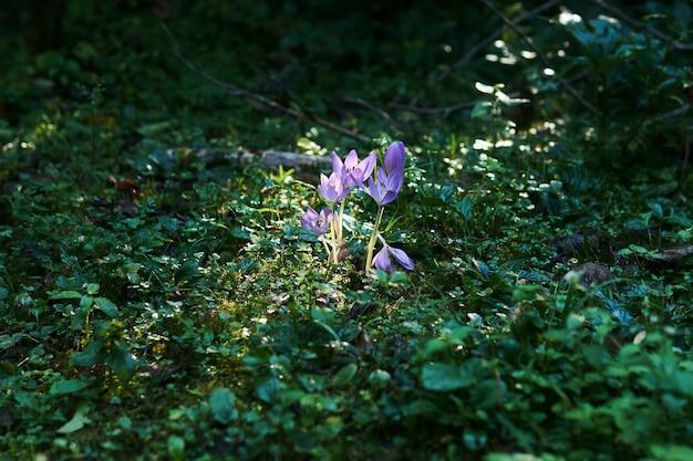 Lila herbstkrokusblüten, beleuchtet von einem sonnenstrahl in einem schattigen unterholz