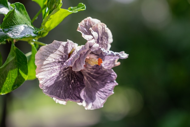 Lila hibiskusblume im garten. taiwan hibiskusblume
