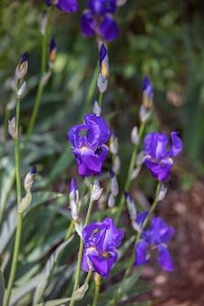 Lila iris blumen im garten (tiefenschärfe, bokeh)