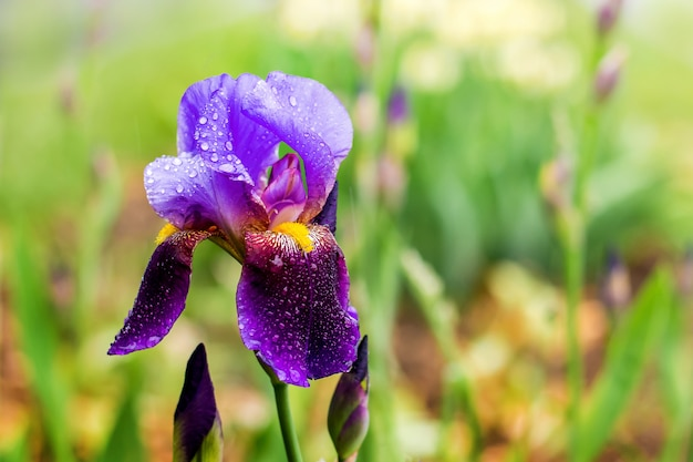 Lila iris mit regentropfen auf grünem hintergrund