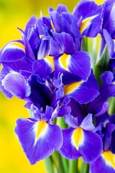 Lila irisblume auf dem gelb