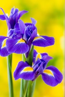 Lila irisblume auf dem gelben hintergrund.