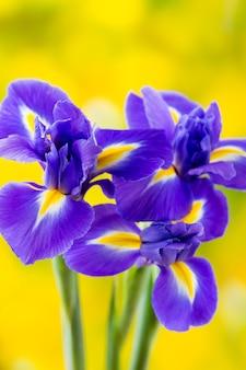 Lila irisblume nahaufnahme