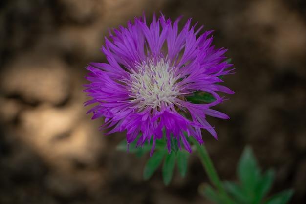 Lila kornblume auf einer wiese oder in einer blumenbeetnahaufnahme