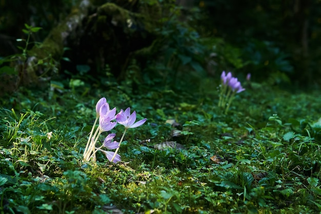 Lila krokusblüten, die von einem sonnenstrahl in einem schattigen unterholz beleuchtet werden
