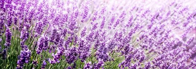 Lila lavendel im blumenfeld-panoramablick