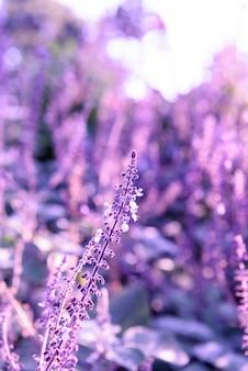 Lila lavendel nahaufnahme hintergrund