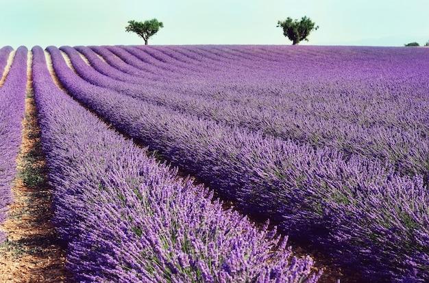 Lila lavendelfeld, sommerlandschaft nahe valensole in provence, frankreich. natur mit textfreiraum.