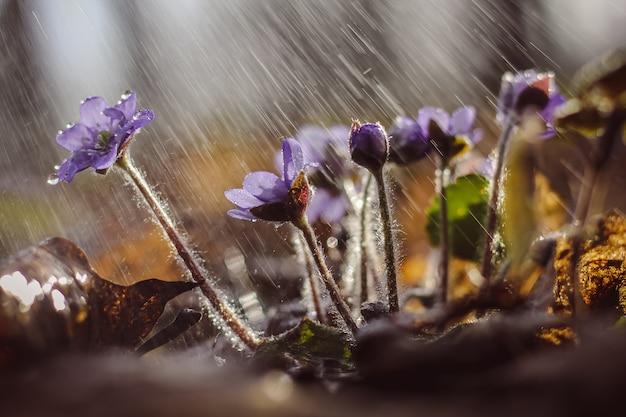 Lila leberkraut im regen