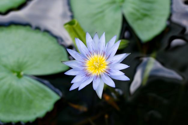 Lila lotus auf dem wasser