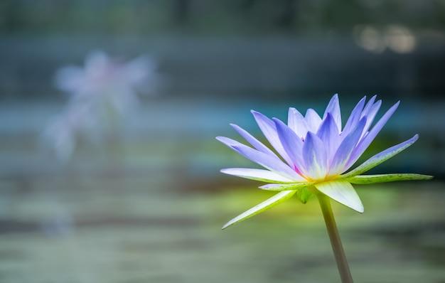 Lila lotus im wasser