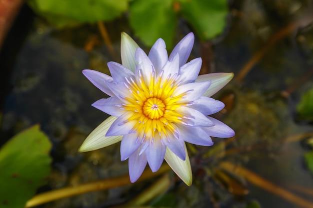 Lila lotus im wasserbecken