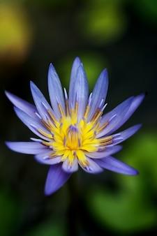 Lila lotus nahaufnahme, konzentrieren sie sich auf einen punkt