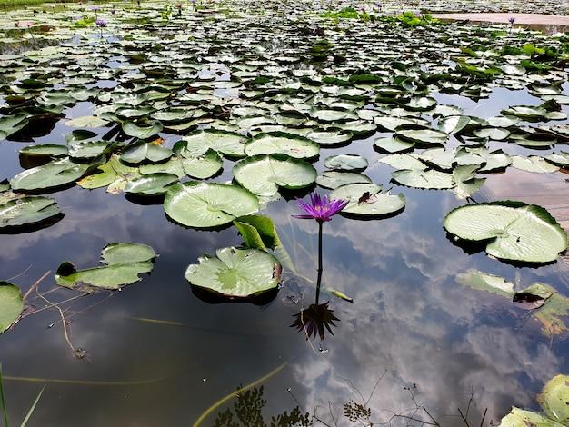 Lila lotusblume mit der reflexion von wolken am himmel