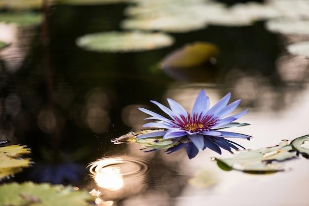 Lila lotusblume mit sonnenuntergangsbokeh