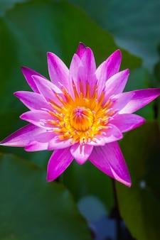 Lila lotusblume schöner lotus.