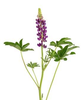 Lila lupinenblume isoliert auf weißem hintergrund. lupinus oder wolfsbohne. schöne sommerblumen.