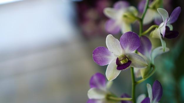Lila mondorchideenblüte
