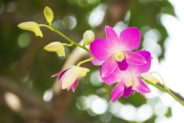 Lila orchidee, dendrobium