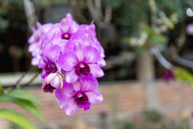 Lila orchidee.