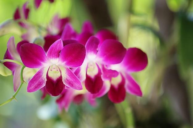 Lila orchideen blühen im blumengarten.