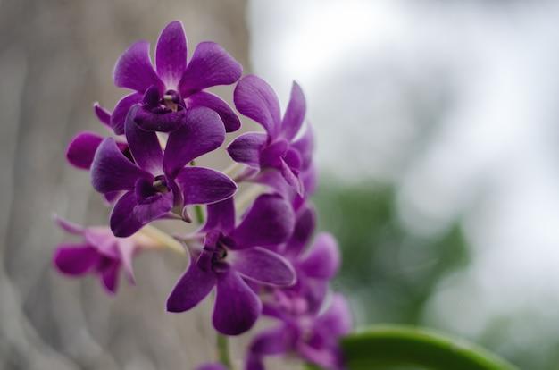 Lila orchideen im garten auf einer niederlassung mit undeutlichem grünem blatt im hintergrund.