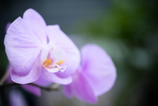 Lila orchideen in einem wilden tropischen wald. schöne frühlingsblumen mit weichem, fokussiertem grünem hintergrund