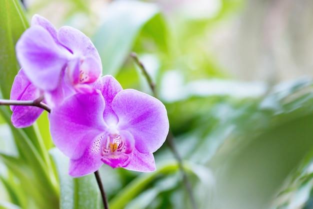 Lila orchideen in einem wilden tropischen wald. schöne frühlingsblumen mit weichem grünem hintergrund