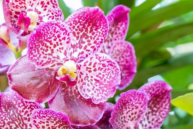 Lila orchideen, vanda.