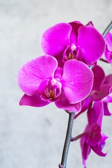 Lila orchideenblüte phalaenopsis, phalaenopsis oder falah auf einem grau