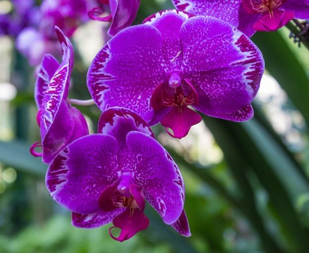 Lila orchideenblüten mit punkten