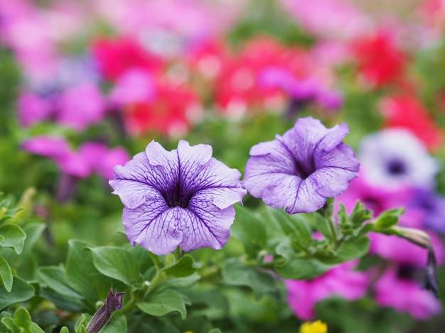 Lila petunienblumen