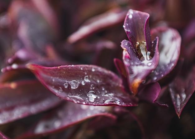 Lila pflanze mit wassertropfen auf den blättern