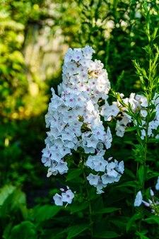 Lila phloxblüten auf einem blumenbeet im sommer
