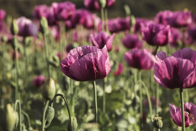 Lila poppy flowers im sonnenlicht in der frühsommernahaufnahme
