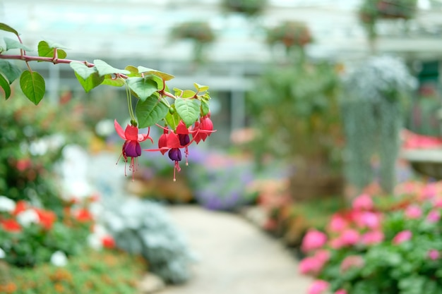 Lila rote fuchsia-blumenpflanze im garten