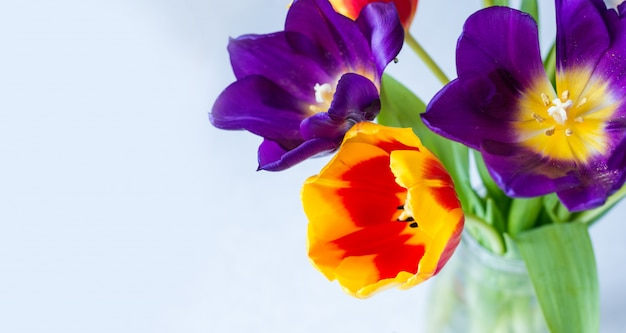 Lila, rote, gelbe tulpen nahaufnahme. frühlingsblumenhintergrund